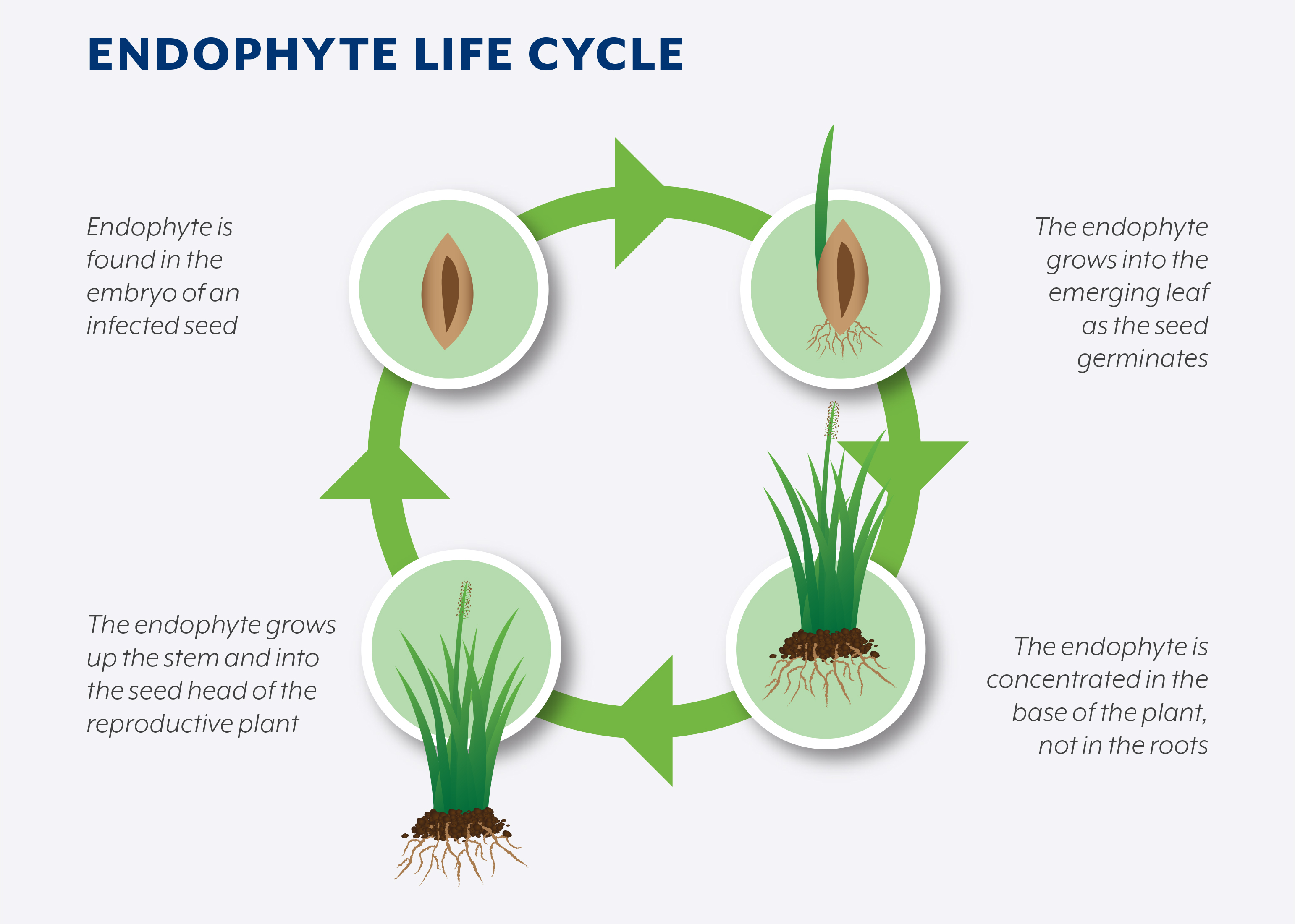 Endophyte Life Cycle